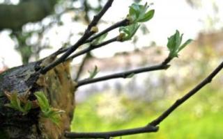 Яблоня: сорта, описание, советы по посадке, обрезке и прививке