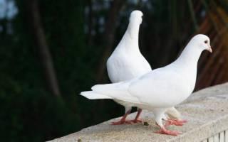 Обзоры пород голубей: их описание, фото и важная информация