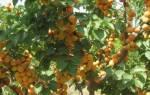 Абрикос: посадка и уход, правила обрезки и внесения удобрения, борьба с вредителями