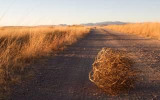 Пшеница Московская: характеристика, фото, посев, уход и вкусовые качества