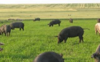 Всё о разведении свиней в домашних условиях: способы и нормы