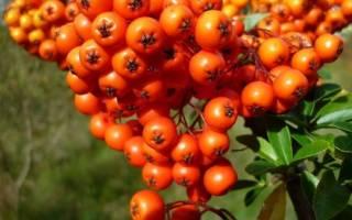 Облепиха: секреты посадки, ухода и сбора ягоды