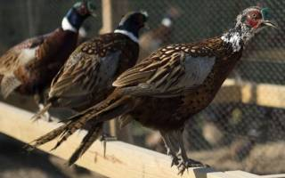 Разведение фазанов: правила, рекомендации и ошибки