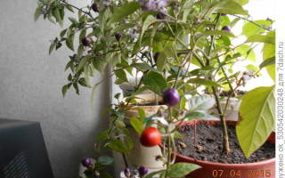 Вырастила на подоконнике болгарские перцы Ферма.expert