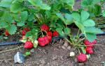 Клубника Елизавета 2: описание сорта, фото, правила выращивания, отзывы