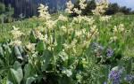 Статьи о ревене: правила посадки, выращивания и размножения