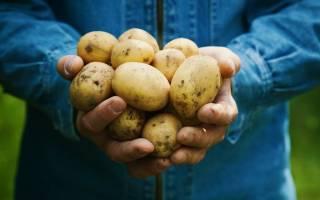Картофель Коломбо (Коломба): описание сорта, фото, выращивание и уход