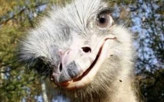 Обзоры пород страусов: названия, описание и фотографии