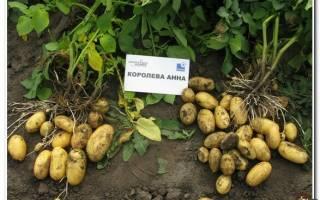 Картофель Королева Анна: описание сорта, характеристики, фото, посадка, уход, сбор урожая