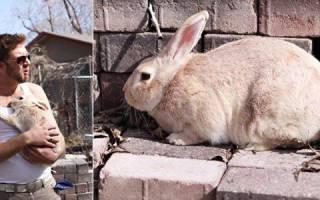 Забой, разделка и выделка шкур кроликов: способы и правила