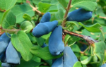 Жимолость Голубое веретено: описание сорта, фото, плюсы, минусы, посадка и уход, отзывы