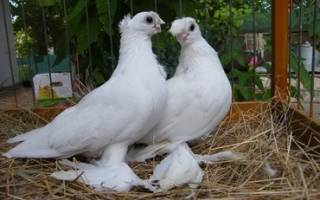 Советы по уходу и содержанию голубей: информация для начинающих