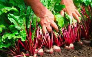 Выращивание свеклы в теплице: сорта, подготовка, условия, посадка, уход