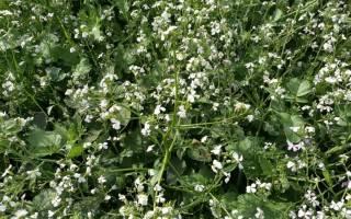 Редька масличная: назначение, посев и выращивание