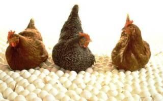 Рекомендации по уходу и содержанию кур в домашнем хозяйстве