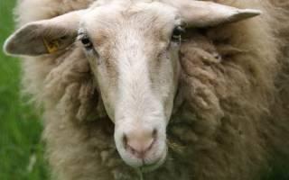 Описание пород овец: особенности, фотографии и полезные советы