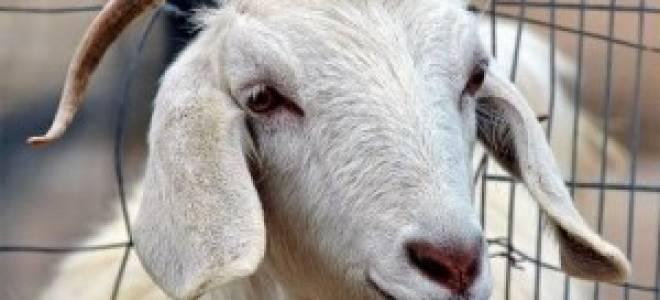 Болезни коз: инфекционные, неинфекционные и паразитарные