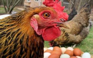 Почему куры клюют яйца и что делать, чтобы предотвратить расклев яиц