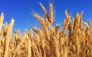 Пивоваренный ячмень: лучшие сорта, выращивание и сбор урожая