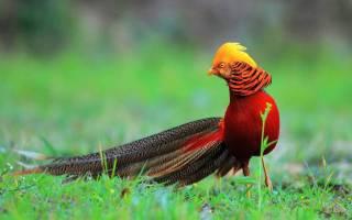 Золотой фазан: описание с фото, условия содержания и разведения