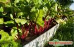 Свекла: описание методов посадки, выращивания и хранения овоща