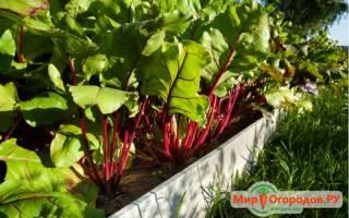 Выращивание свеклы рассадой: правила, агротехника, инструкции