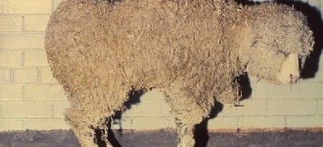 Болезни овец: незаразные, инфекционные и паразитарные