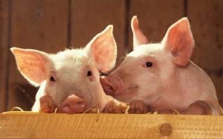 Свиноводство: породы, правила содержания и разведения свиней
