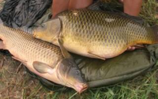 Статьи о разведении рыб: особенности, рекомендации