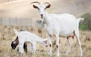 Обзоры пород коз: названия, описание, фото, рекомендацию по содержанию
