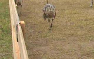 Загон для страусов: требования к участку и его обустройство