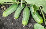 Огурец Спино: описание сорта с фото, посадка и уход, сбор урожая