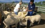 Рекомендации по содержанию овец: правила ухода и кормления