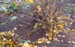Подкормка смородины осенью: чем и когда удобрять растение?