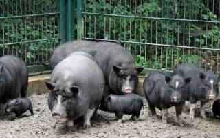 Выбор оборудования и требования к постройкам для свиней