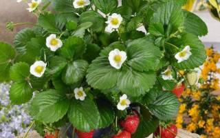 Клубника и земляника: сорта, посадка, уход, размножение ягод