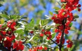 Облепиха красная (Шефердия): описание, фото, посадка, уход и отзывы