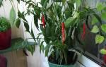 Как вырастить перец Чили дома на подоконнике: посадка, уход, советы и отзывы