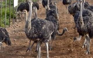 Всё о страусах: выбор птицы, советы по выращиванию и разведению