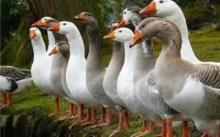 Обзоры пород гусей: названия, описание, правила содержания