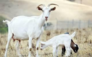 Козоводство: основы выбора, выращивания и содержания коз
