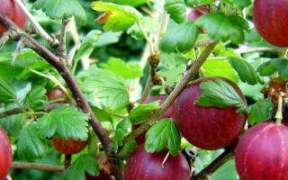 Крыжовник Колобок: описание сорта, фото, плюсы и минусы кустарника, отзывы, агротехника