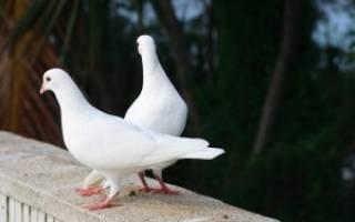 Понос у голубей: причины, лечение и профилактика
