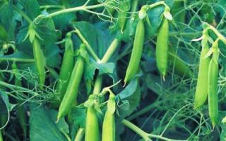 Высокорослый горох: особенности, агротехника, отзывы
