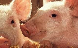 Кормушки для свиней своими руками: пошаговые инструкции и полезные советы