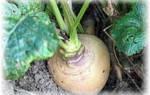 Сорта репы с фото и описанием: обзор лучших корнеплодов