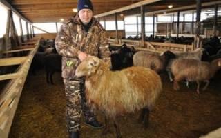 Овцеводство: выбор кроликов, правила содержания и разведения