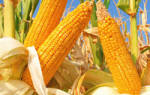 Всё о кукурузе: сорта, посадка, уход, выращивание