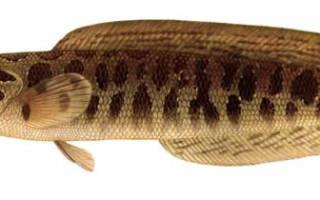 Змееголов (рыба): характеристики, фото, виды, ловля и разведение