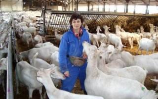 Основы разведения коз – рекомендации для начинающих